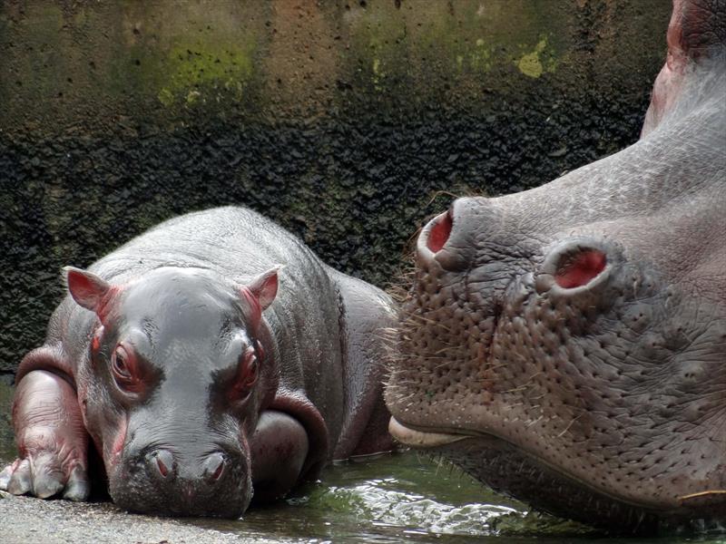 Conheça a história da Glória, a hipopótamo do Zoológico que teve até festa de aniversário neste sábado