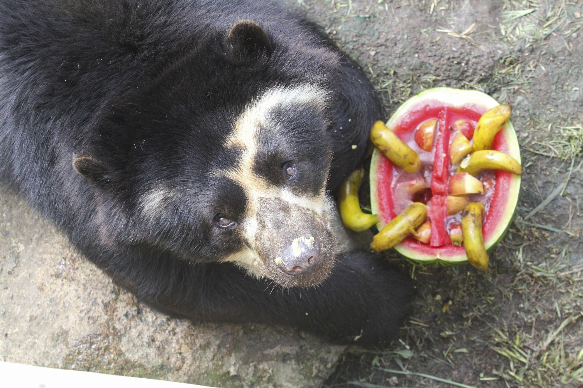 Morre Andy, o urso-de-óculos do Zoológico de Curitiba