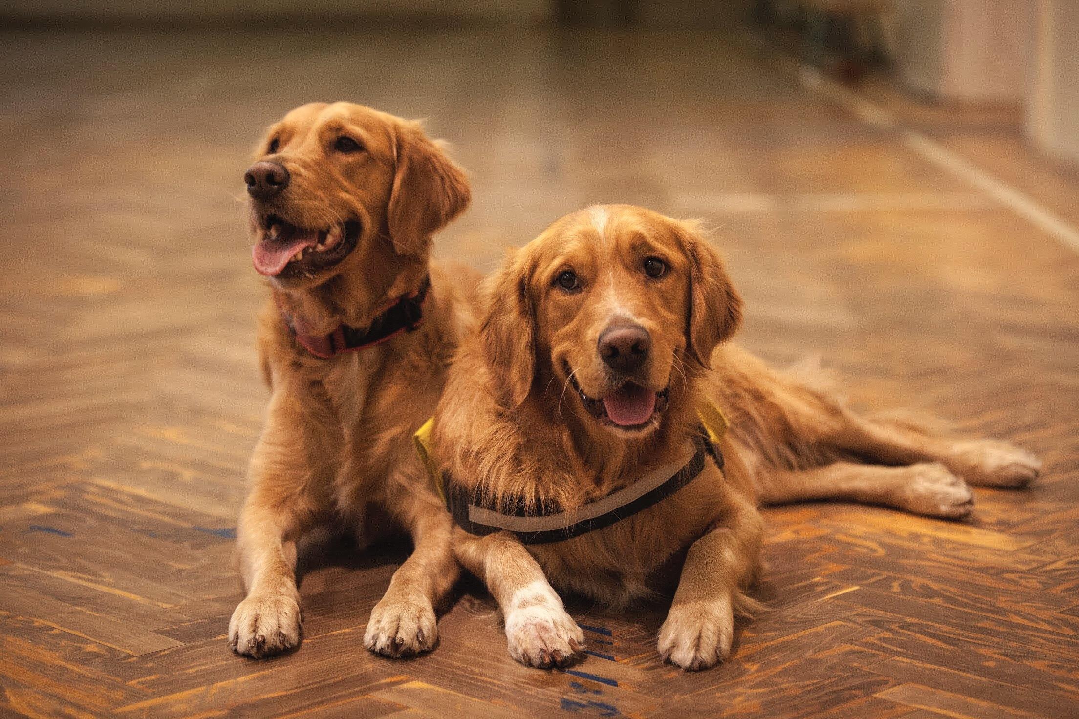 Vila gastronômica recebe encontro de cães golden retriever neste sábado