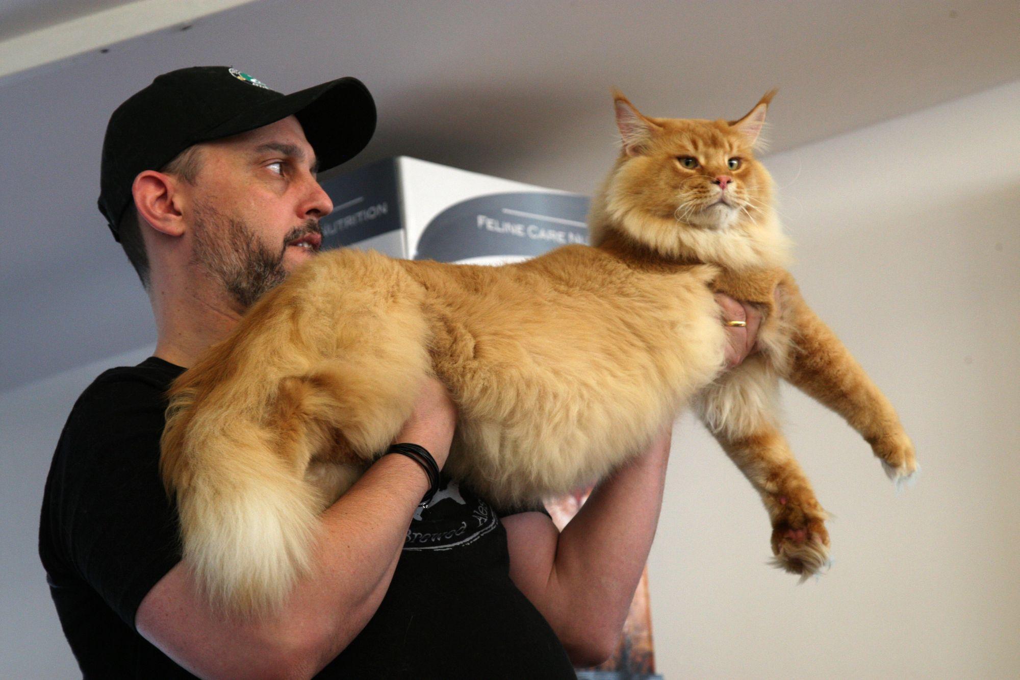 """Mostra pet no fim de semana vai trazer a raça dos """"gatos gigantes"""""""