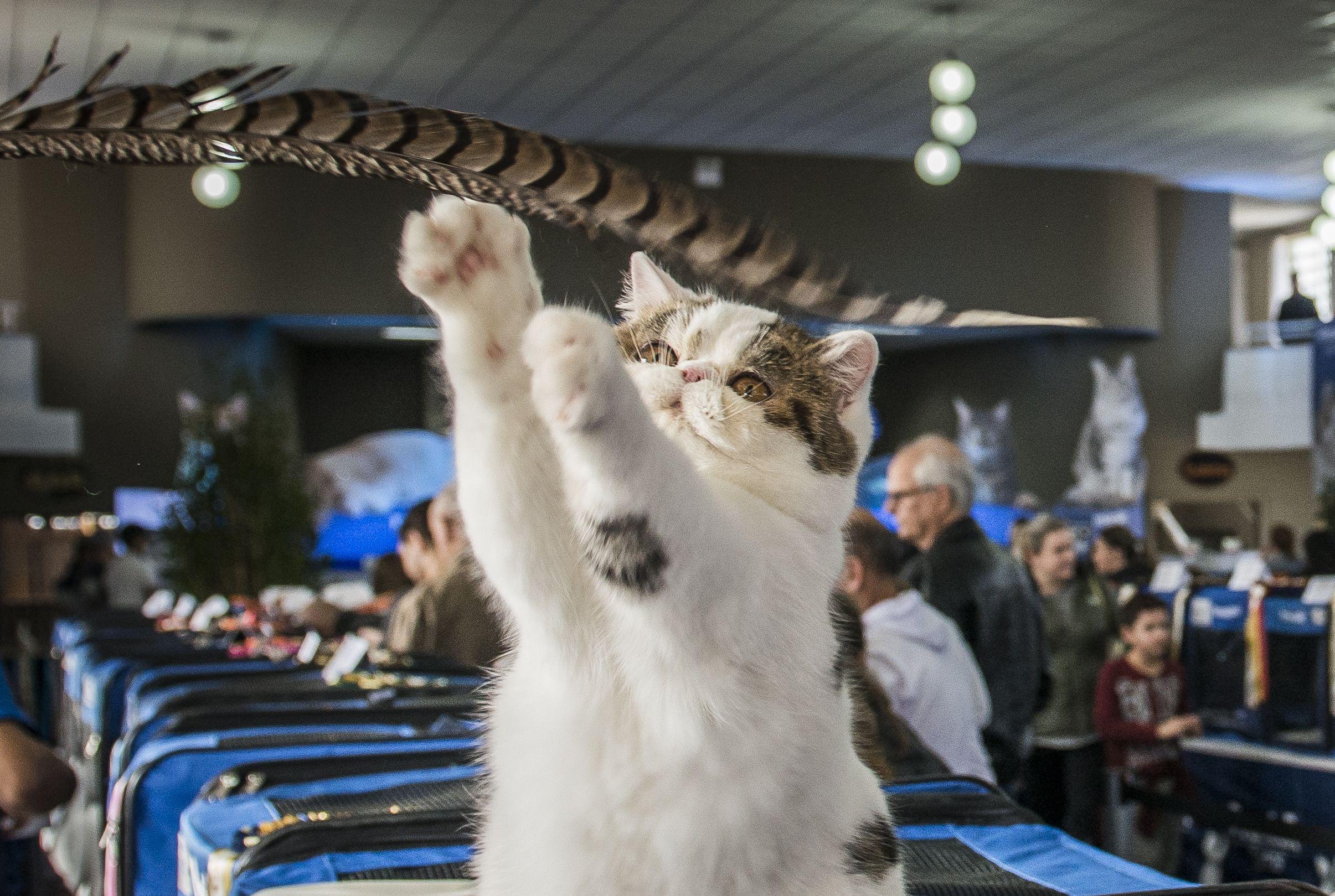Exposição com mais de cem gatos tem raças exóticas; veja fotos