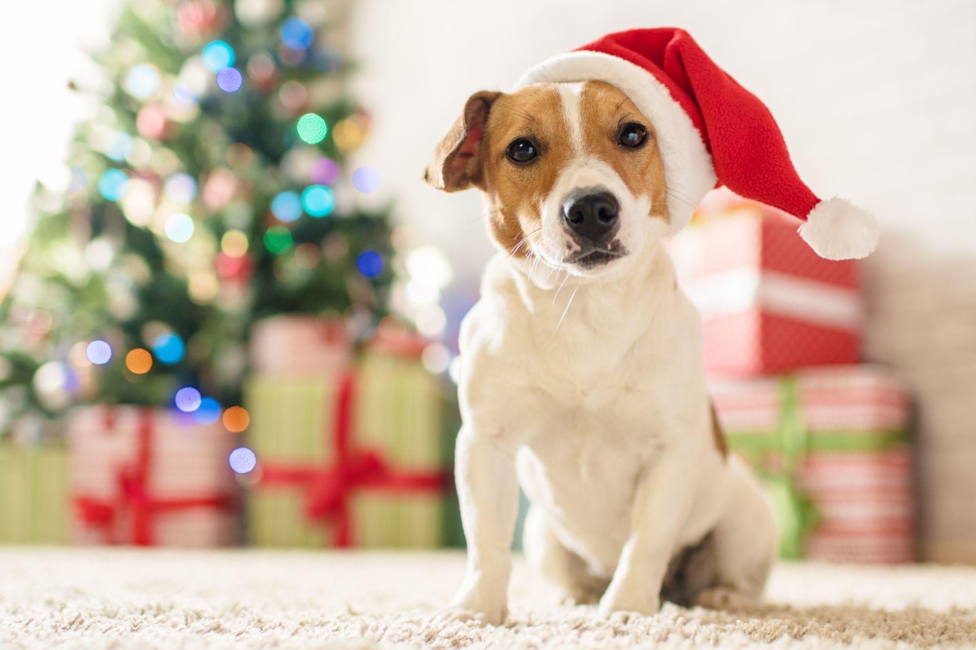 Pets podem tirar foto com o Papai Noel em shoppings de Curitiba