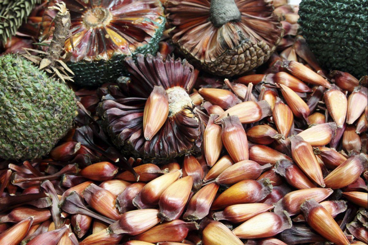 Vinícola Araucária organiza sapecada de pinhões gratuita neste final de semana